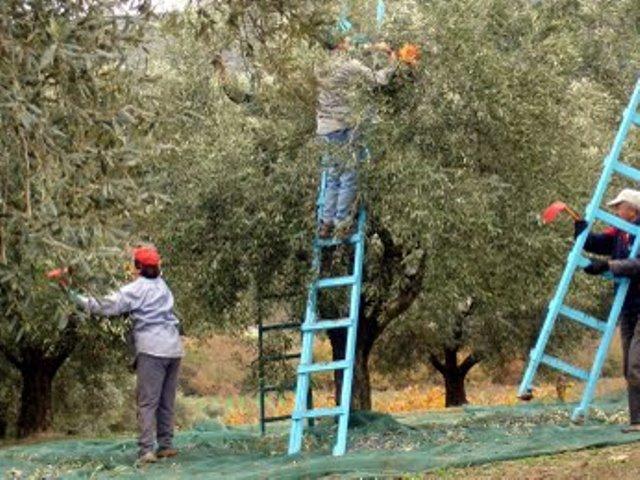 Για έκτη συνεχόμενη χρονιά η Δημοτική αρχή, θα διαθέσει προς συγκομιδή τα ελαιόδεντρα που ανήκουν στην δημοτική περιουσία του Δήμου Πατρέων
